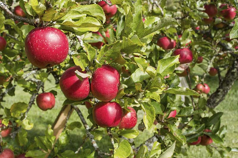 Orcas Island farm gifts souvenirs apples fruit