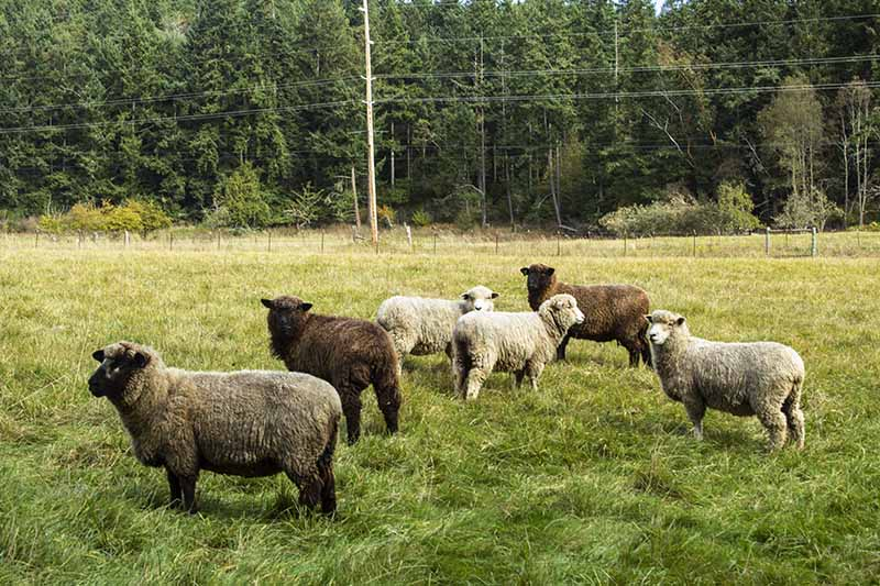 Orcas Island farm sheep tour wool yarn apples fruit